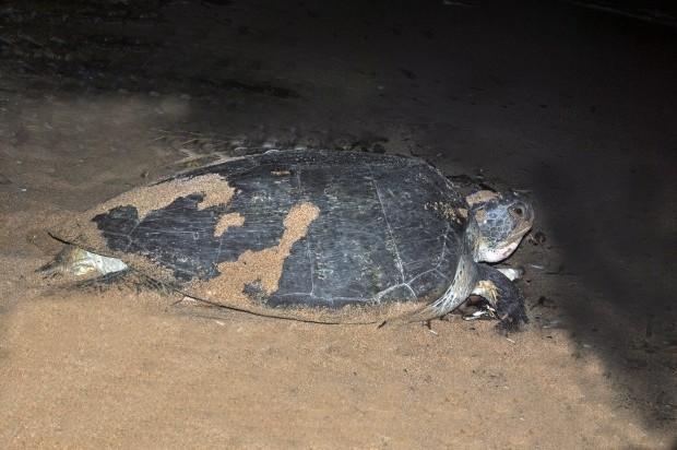 Tortuga llega por primera veza playa guibia
