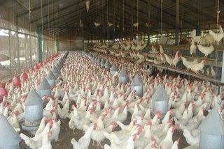 Productores rebajan dos pesos a la libra de pollo vivo en granja