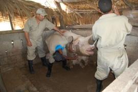 DIGEGA inicia vacunación de 50 mil cerdos para erradicar enfermedad porcina